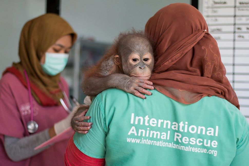 Didik, an 18-month-oldorangutan, was found with a bullet in his shoulder in Indonesian Borneo earlier this year.