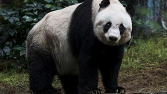 36-year-old giant panda Jia Jia, looks on at the Hong Kong Ocean Park, China July 9, 2015.   REUTERS/Tyrone Siu/File Photo