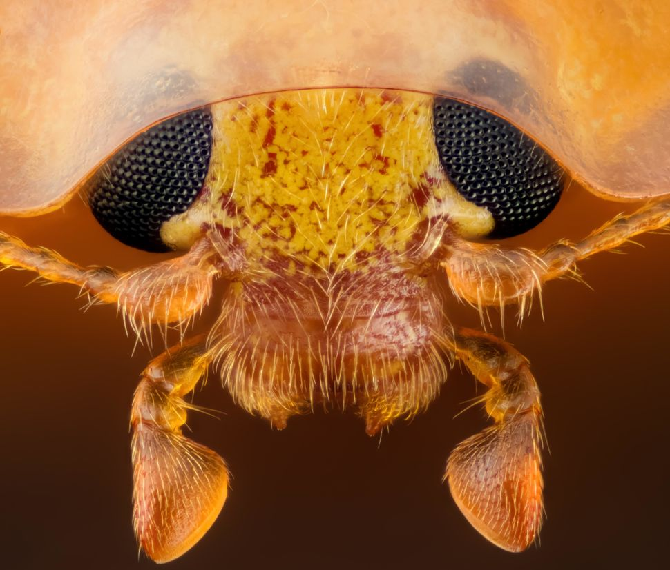 15th place: Geir Drange, Asker, Norway. Head section of an orange ladybird (Halyzia sedecimguttata) shown at 10x magnificatio