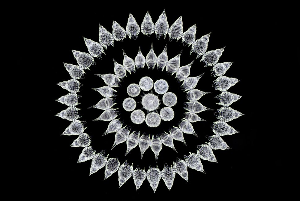 16th place: Stefano Barone, Palazzo Pignano, Italy. Sixty-five fossil Radiolarians (zooplankton) carefully arranged by h