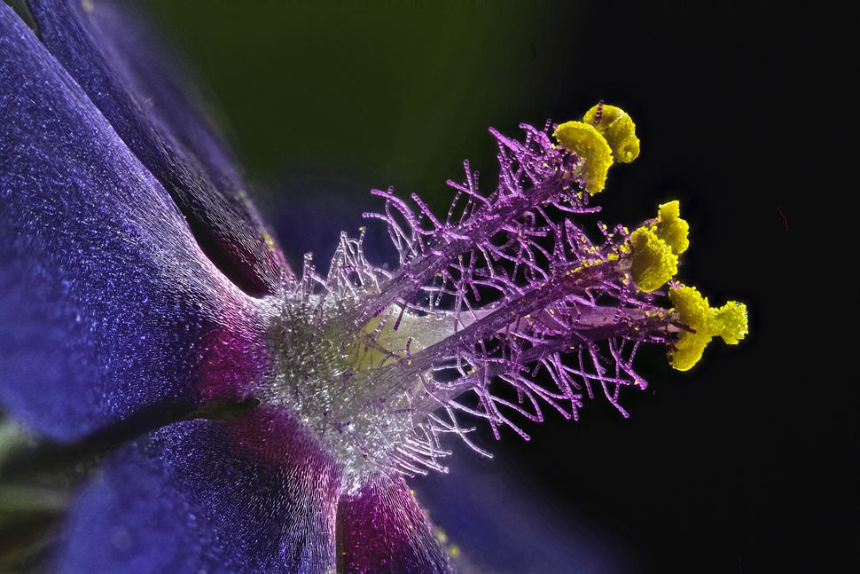 Eighth place: Samuel Silberman, Yehud-Monosson, Israel. Wildflower stamens shown at 40x magnification.