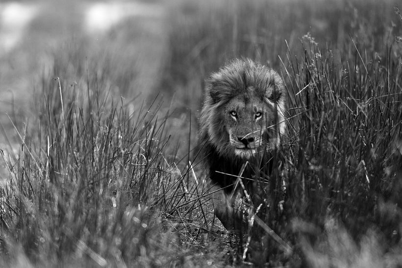 Lion of South Africa
