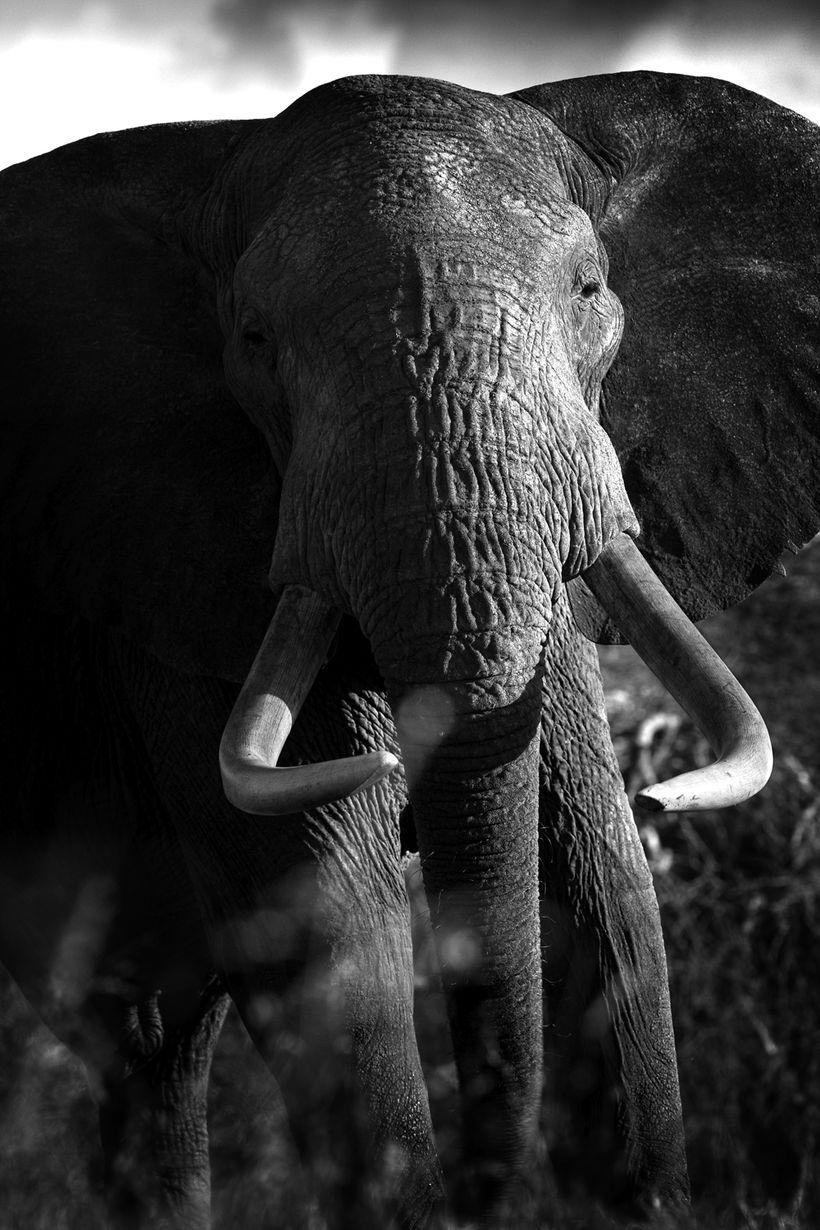 Elephant from Beverly Joubert