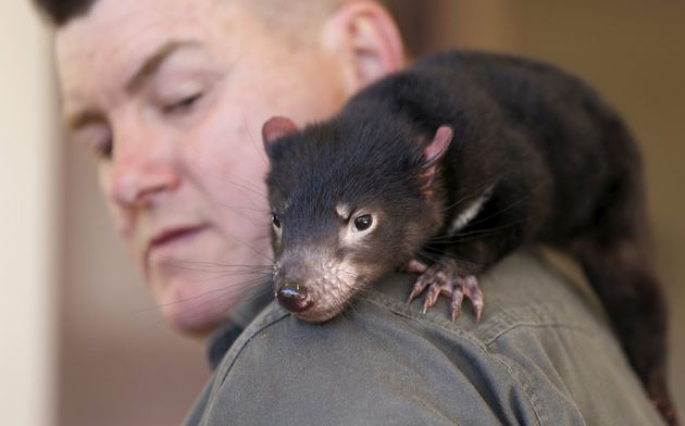 Worst Superbugs Could Be Beaten By Key Ingredient In Tasmanian Devil's