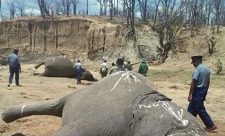 A group of elephants, believed to have been killed by poachers, lie dead at a watering hole in Zimbabwe's Hwange National Par