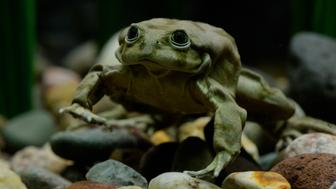 DENVER, CO - March 17: A Titicaca frog in an aquarium exhibit at the Denver Zoo March 17, 2016. The Denver Zoo has acquired 20 critically endangered Lake Titicaca frogs, most will be in quarantine for three months, but a few are currently on display. The zoo is the only institution in North America to have them. (Photo by Andy Cross/The Denver Post via Getty Images)