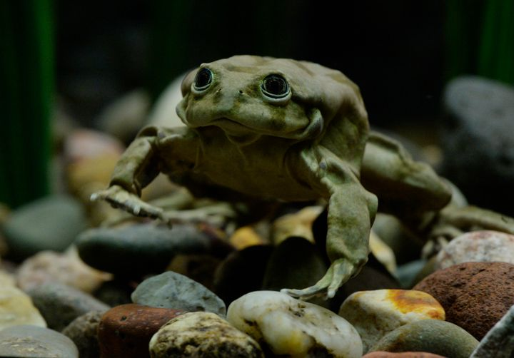 "A Titicaca frog in an aquarium exhibit <a href=""http://www.denverpost.com/2016/03/25/critically-endangered-lake-titicaca-frog"