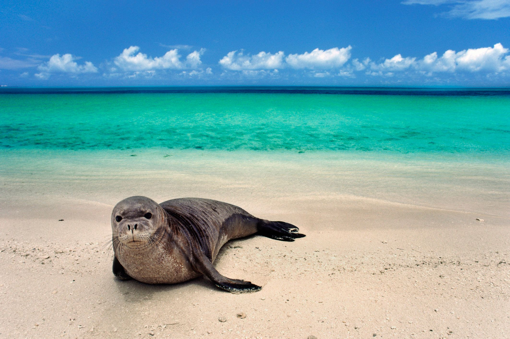 Hawaiian monk seal on beach, Monachus schauinslandi, Hawaiian Leeward Islands