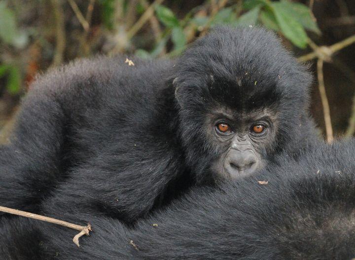Close-up of an infant Grauer's gorilla.