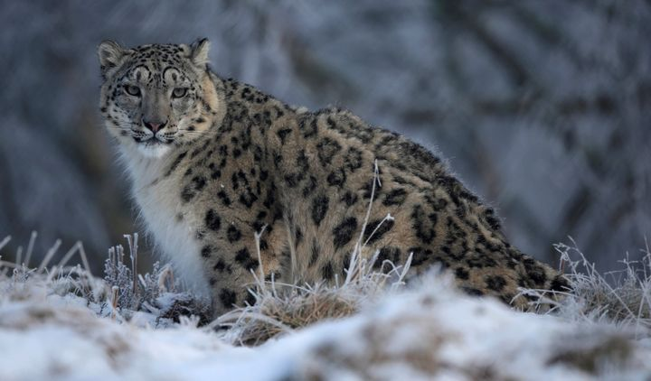 A snow leopard in an enclosure at RZSS Highland Wildlife Park in Scotland.