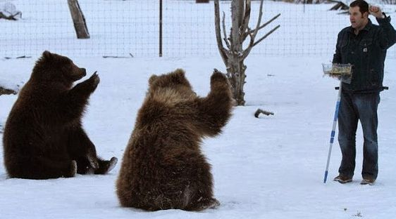 Dr. Jordan Schaul training orphaned brown bears Taquka and Shaguyik