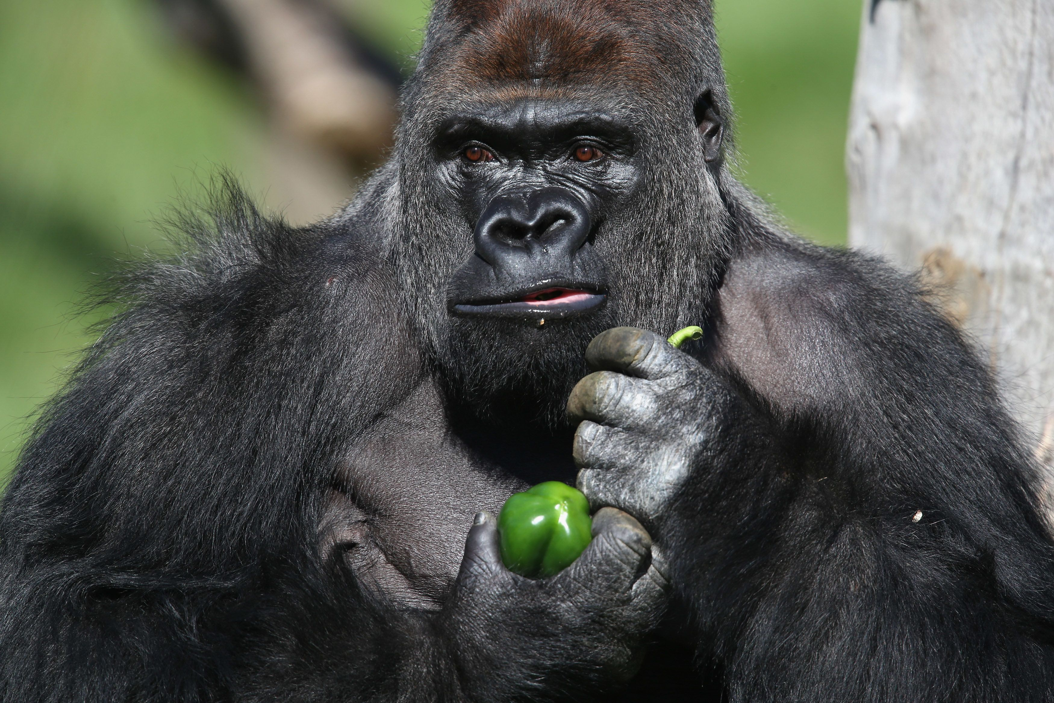 LONDON, ENGLAND - MAY 02:  Kumbuka, a 15-year-old western lowland gorilla, holds a green pepper as he explores his new enclosure in ZSL London Zoo on May 2, 2013 in London, England. The silverback male, who weights 185 kg and stands seven foot tall, moved from Paignton Zoo two weeks ago. It is hoped that Kumbuka will mate with the zoo's three female gorillas to increase numbers of the critically endangered species as part of the European breeding programme.  (Photo by Oli Scarff/Getty Images)