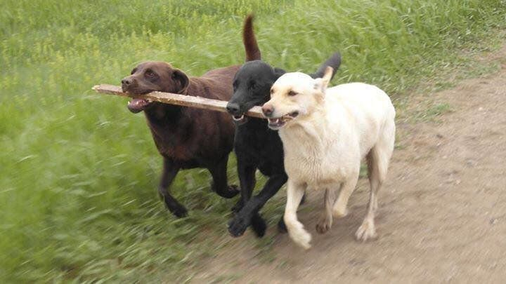 Esme, the yellow Lab, plays with Bruno and Jasper, a black Lab who died since this photo was taken.