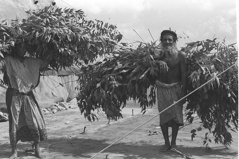 Cariying branches of Eucalyptus