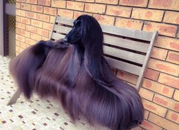 This Afghan Hound Has Better Hair Than All Of Us