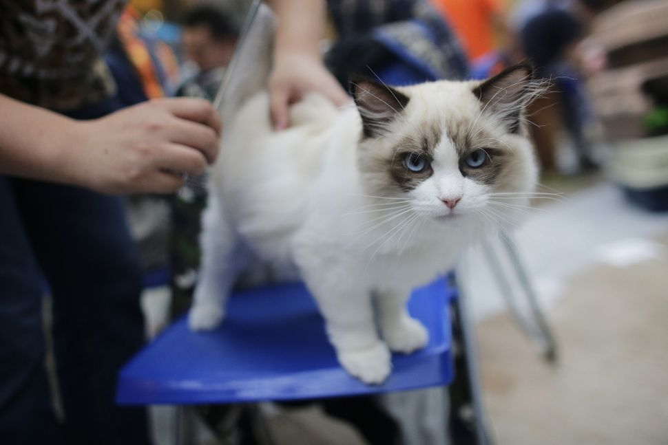 A ragdoll catis getting tired of the paps.