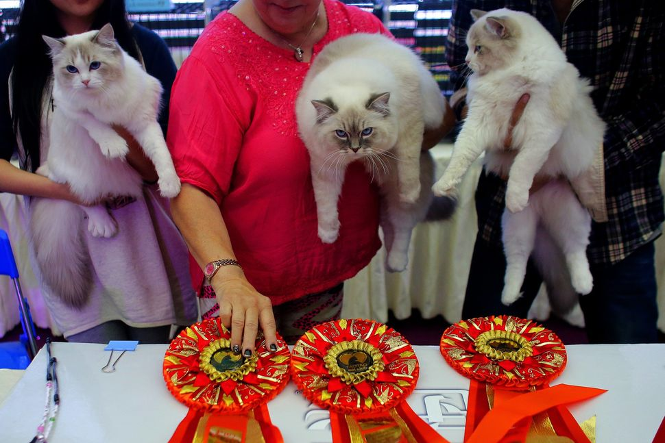 Ragdoll cats are awarded ribbons for being supremely floppy (just kidding, but can you imagine?).