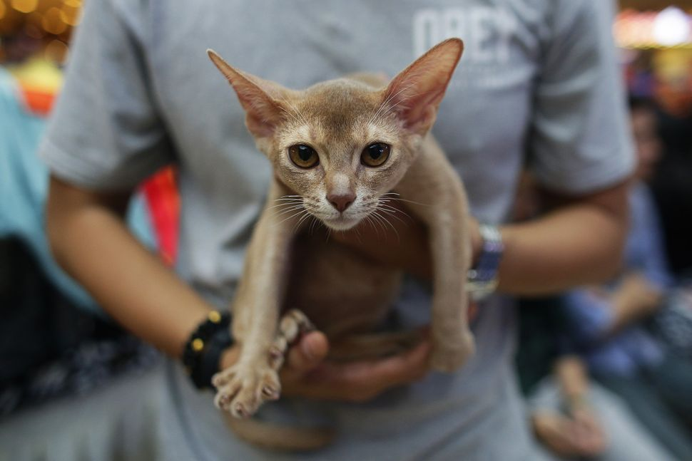 An Abyssinian cat.