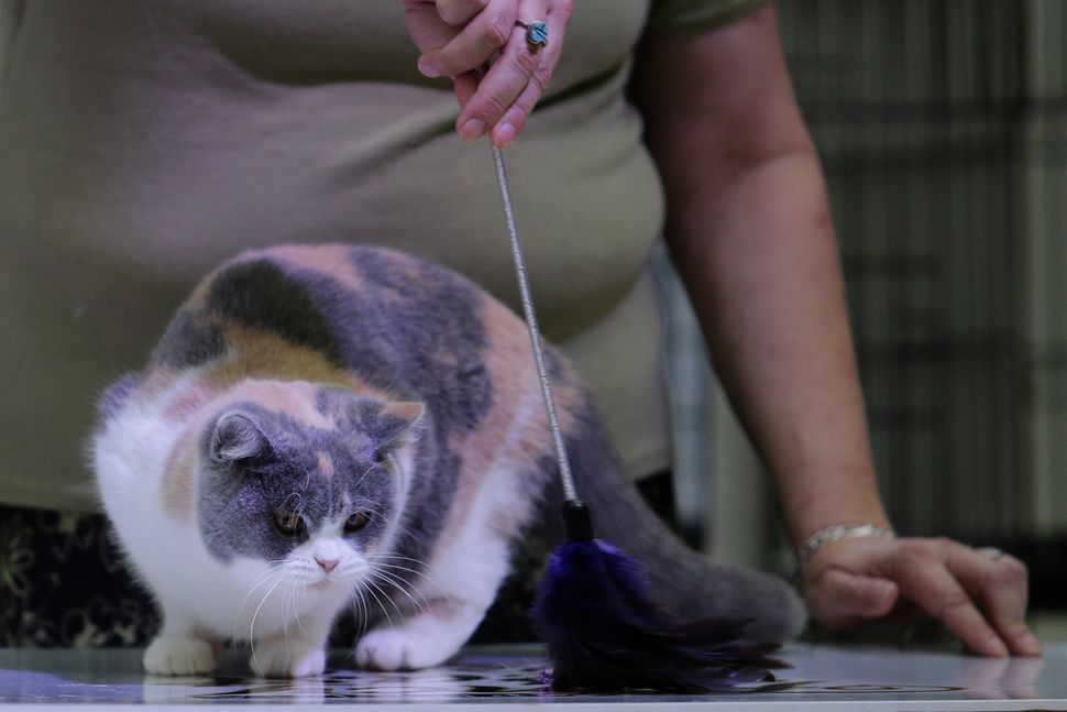 A judge checks the agility of a British shorthair cat.