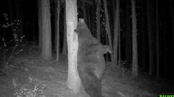 Watch This Very Chubby Bear Enjoy An Awesome Back