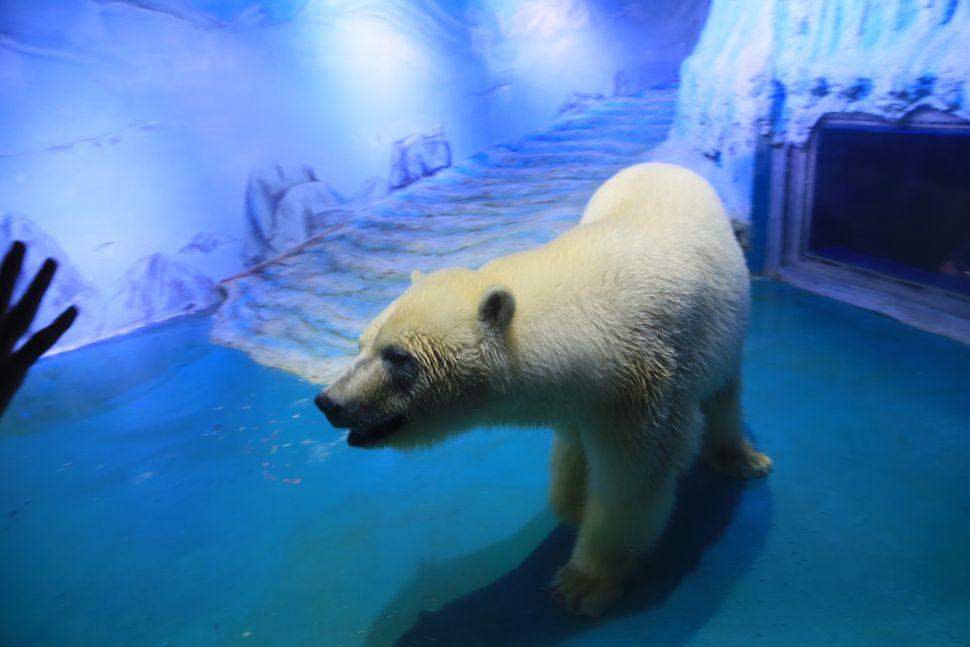 Pizza, 'World's Saddest Polar Bear,' Lives Inside A Mall