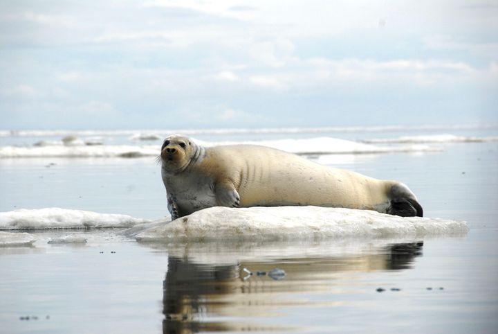 "Bearded seals, one of four arctic seal species that inhabit Alaskan waters, <a href=""http://www.adfg.alaska.gov/index.cfm?adf"