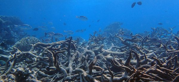 Much Of The Great Barrier Reef Has Become A Coral Graveyard