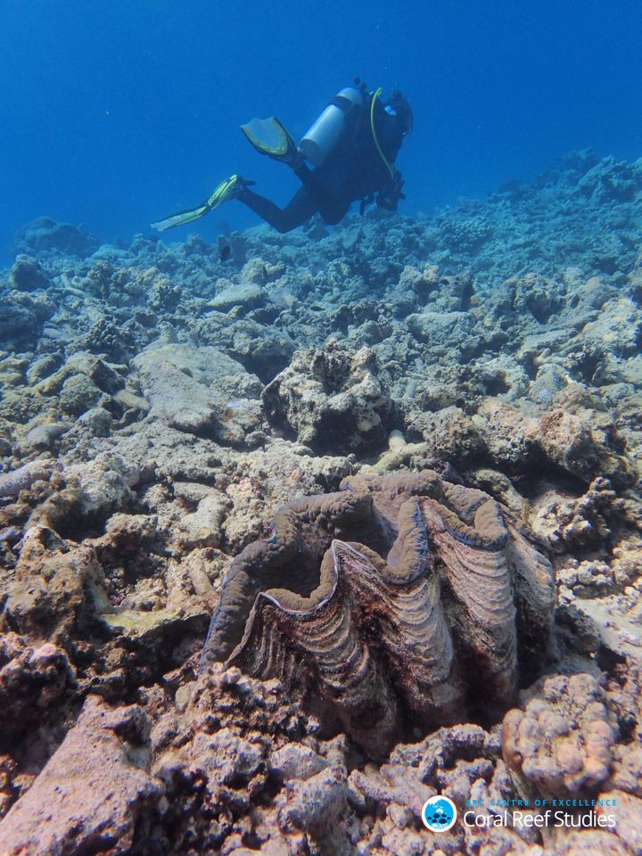 A giant clam, once surrounded by colorful, living coral, now sits alone in a field of death near Lizard Island. October, 2016