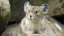 Adorable American Pika Is Fast