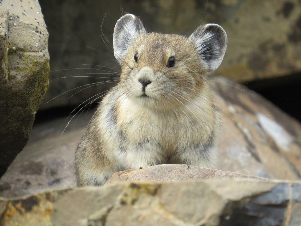 The American pika (Ochotona princeps) is under serious threat from climate change, research shows.