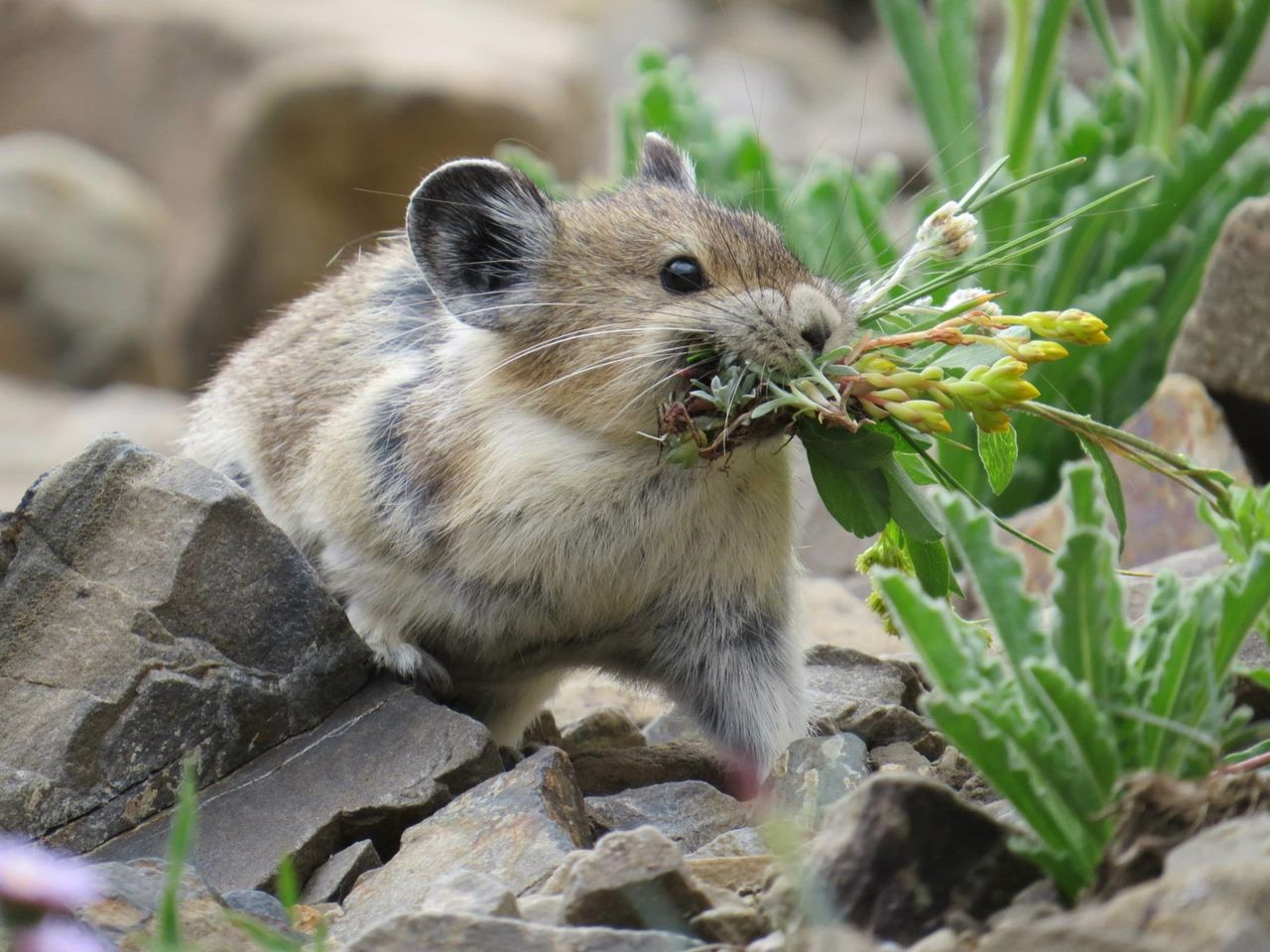 The American pika, the smaller relative of rabbits and hares, is herbivorous. It eats a wide variety of green plants including grasses, thistles and fireweed.