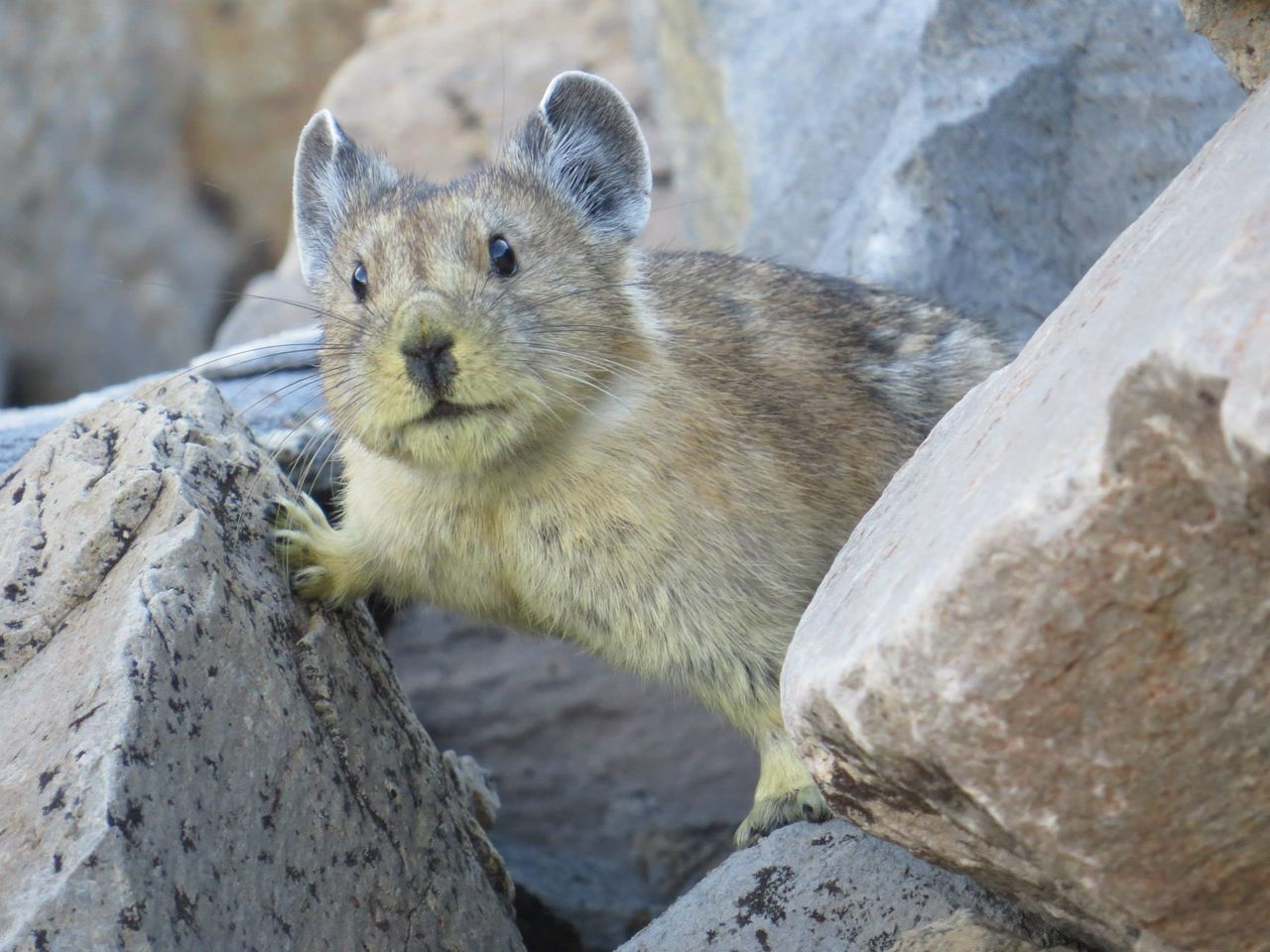 """The FWS said this week that it will be """"re-evaluating the status of the pika in the coming weeks and months."""""""