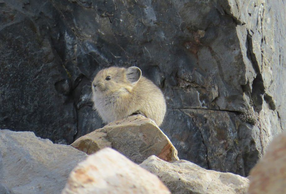 About the size of large hamsters, American pikas often live in mountainous rock piles.