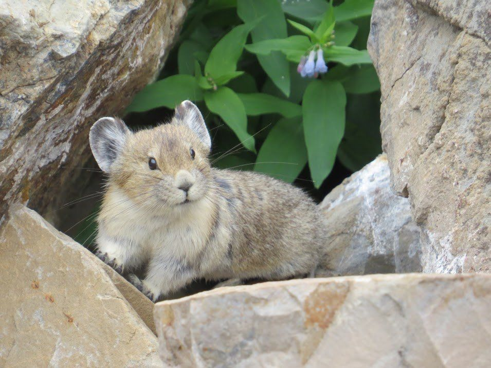 "The average life span of the American pika is the wild is <a href=""http://animaldiversity.org/accounts/Ochotona_princeps/"" ta"