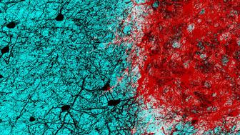 Transplanted neurons integrate into adult brain networks Embryonic neurons red transplanted into the adult mouse brain connect with host neurons black rebuilding neural circuits previously lost with an injury