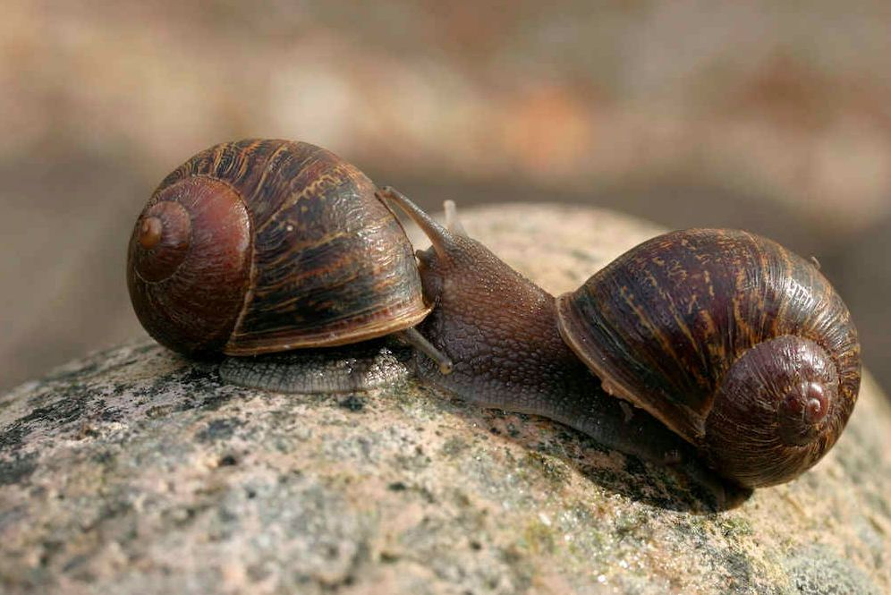 Jeremy, the snail with the left-coiling shell (right) next to a snail with a right-coiling shell (left).