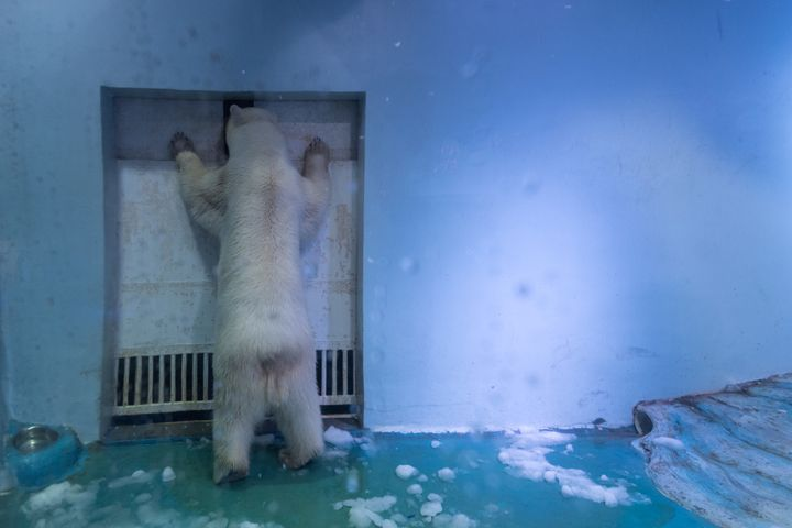 Pizza the polar bear stands at the door of his enclosure.
