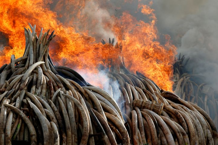 Ivory from thousands of African elephants, many slaughtered by poachers, was burned in Kenya earlier this year.