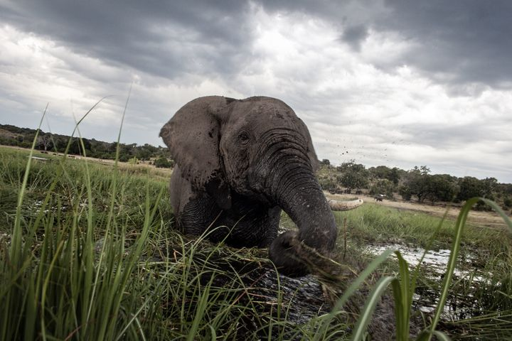 Many species, including the African elephant, have suffered widespread population declines in the last half century.