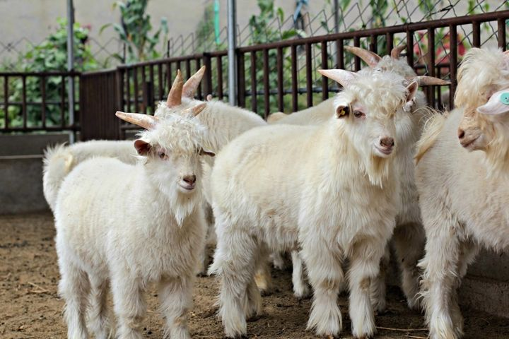The extra-fluffy, genetically-altered cashmere goats at 6 months old.
