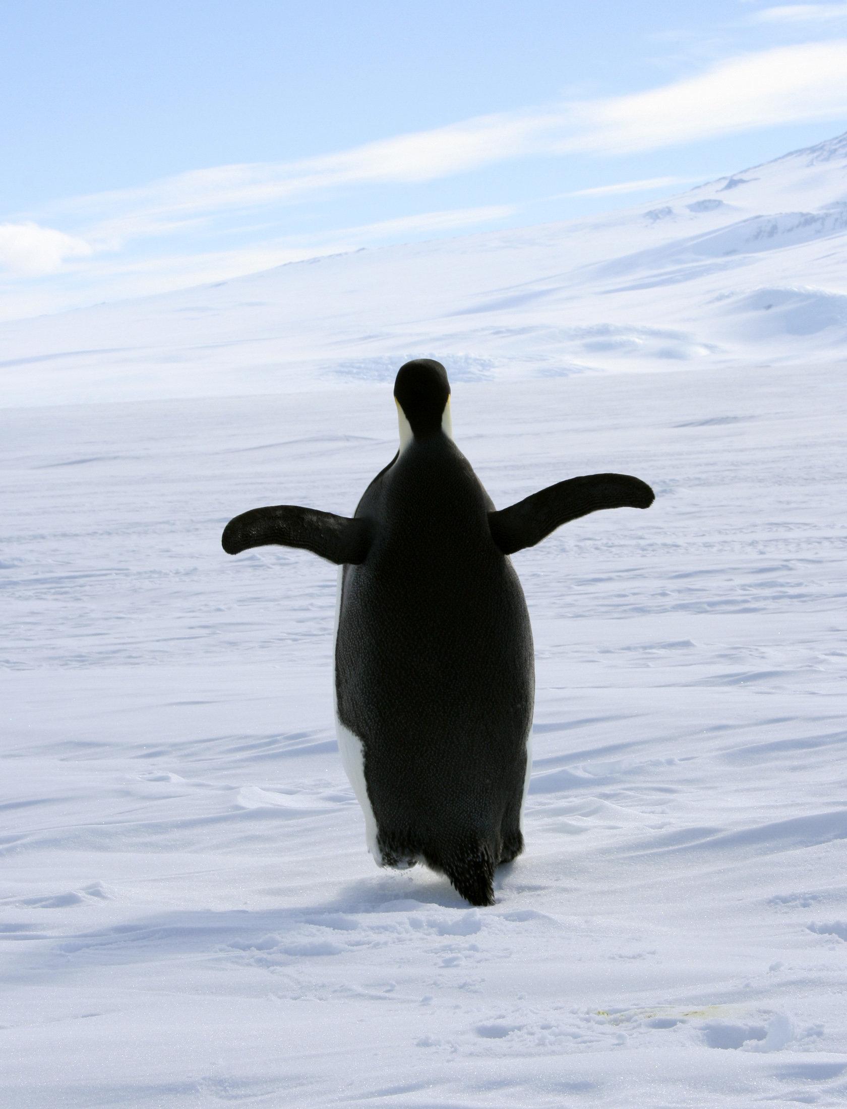 An Emperor penguin waddles along sea ice off the Antarctic coast off Ross Island December 9, 2006. REUTERS/Deborah Zabarenko  (ANTARTICA)