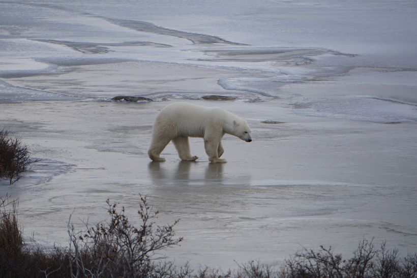 Polar bears (<em>Ursus maritimus</em>) are the poster child for the impacts of climate change on species, and justifiably so.