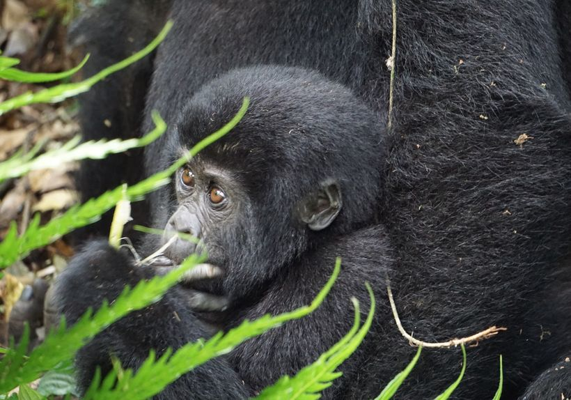 Gorillas don't drink much water, so how might they be vulnerable to water scarcity? Community members living nearby will encr