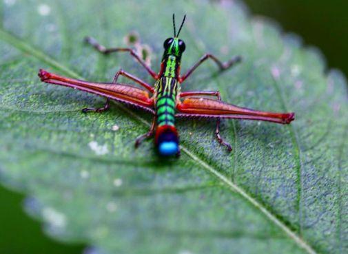 Vibrant colors define Colombia, down to the smallest Monkey Grasshopper