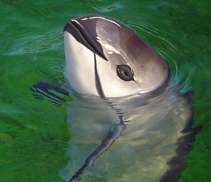 The world's most critically endangered marine mammal is a small porpoise called the vaquita.