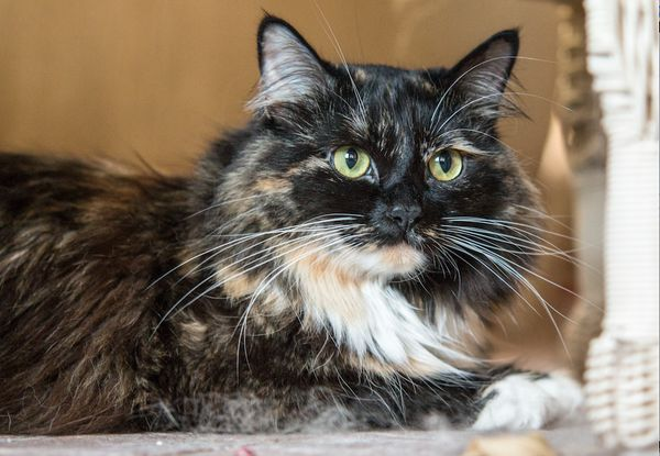 """Sophie Smith, a black-and-white cat owned by Jami Smith of Oceanside, California, owns the title for <a href=""""http://www.guin"""