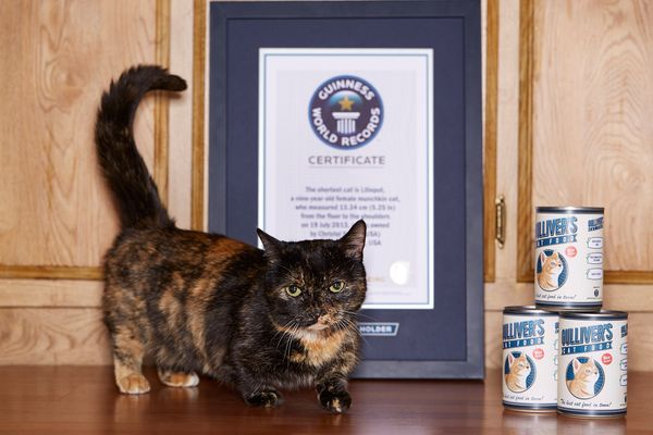 """Lilieput, a 9-year-old female Munchkin cat from Napa, California, is the <a href=""""http://www.guinnessworldrecords.com/world-r"""