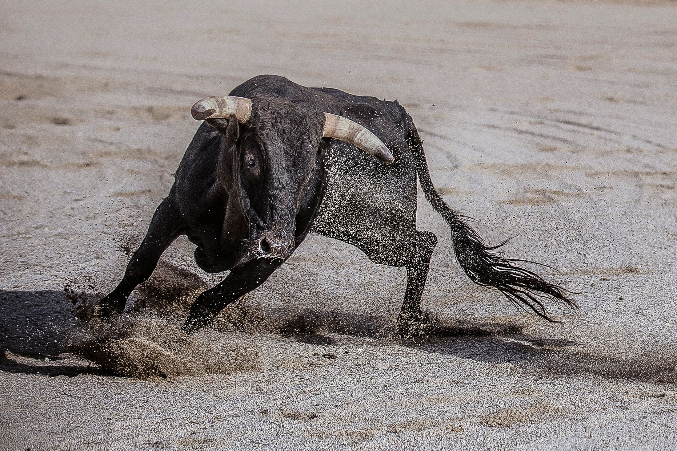 A scrapyard owner in eastern Spain has replaced his guard dogs with two fighting bulls, such as the one pictured above, follo