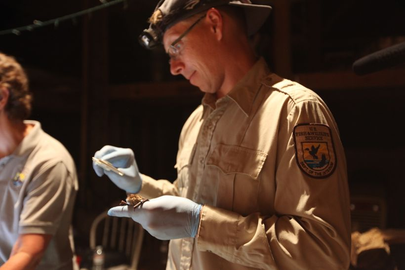 National White-nose Syndrome Assistant Coordinator Jonathan Reichard takes a measurement on a tagged little brown bat as part