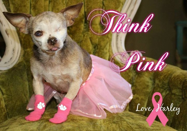 Since it's the last day of Breast Cancer Awareness Month, Harley was happy to wear his pink socks and tutu!
